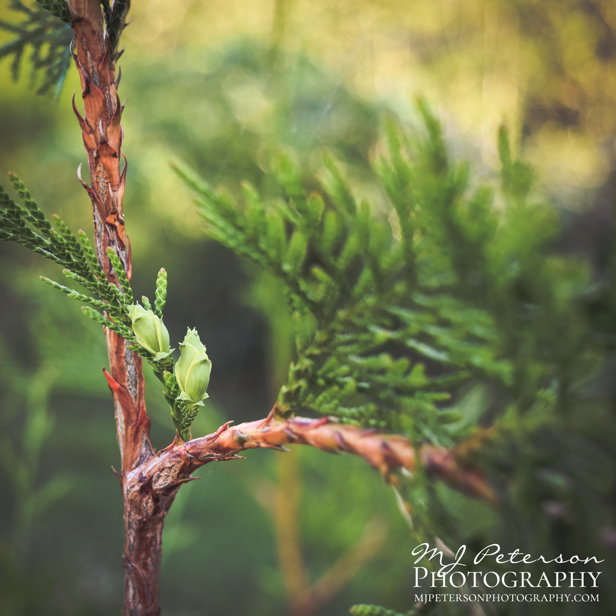 Pine Cone Bud by MJ Peterson