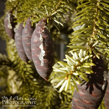 Pine Cone Row by MJ Peterson