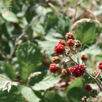 Red Raspberries Berries in Summer by MJ Peterson